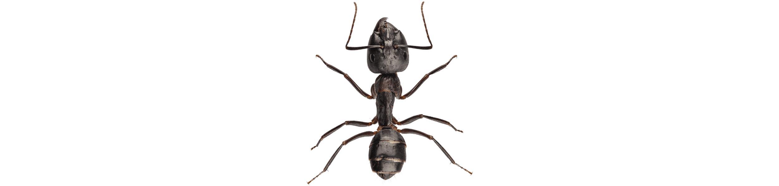 OPC Pest Control - Ants Header