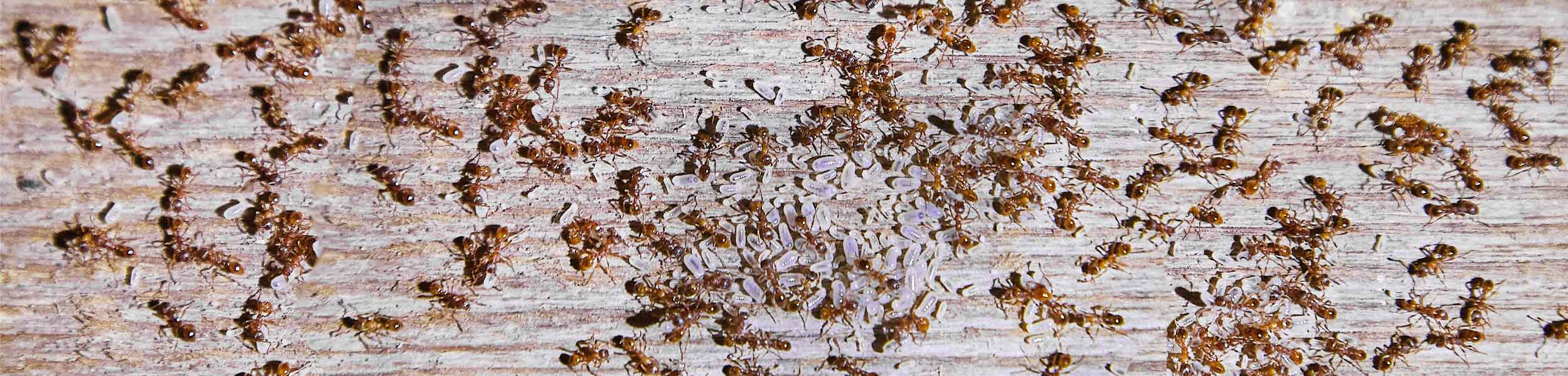 ACE Exterminating-Pest-Control-Ants-Swarm-Light-Header