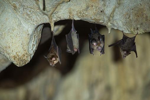 OPC Pest Control - Bats in a Cave