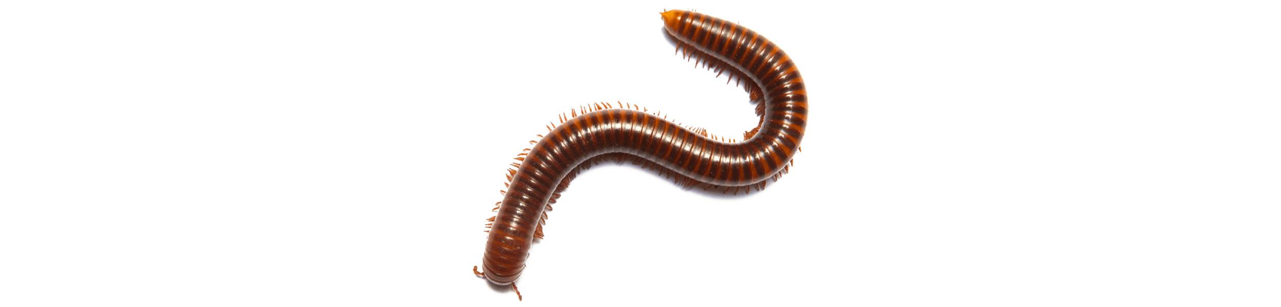 ACE Exterminating-Pest-Control-Millipede-Header