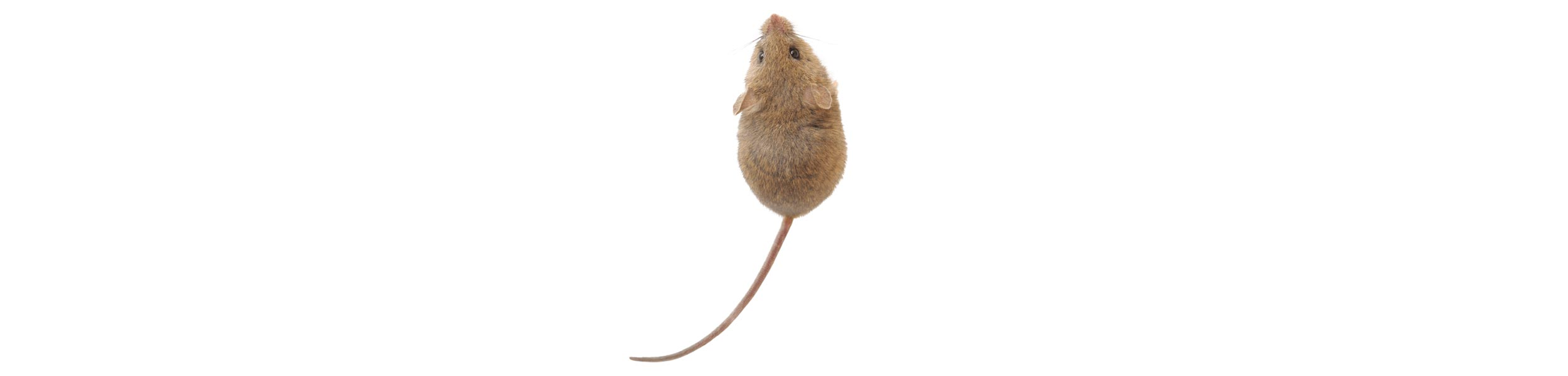 ACE Exterminating-Pest-Control-Rodents-Mouse-Rat-Header