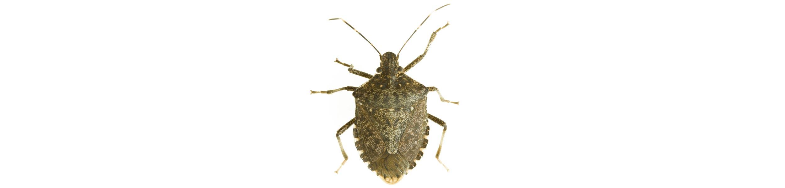 ACE Exterminating-Pest-Control-Stink-Bug-Header