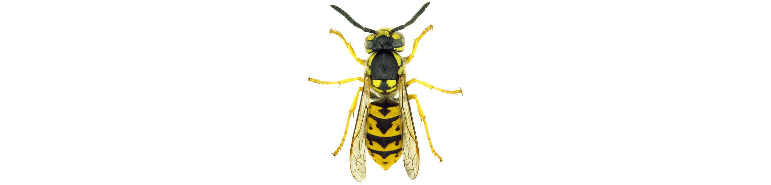 ACE Exterminating-Pest-Control-Wasps-Header
