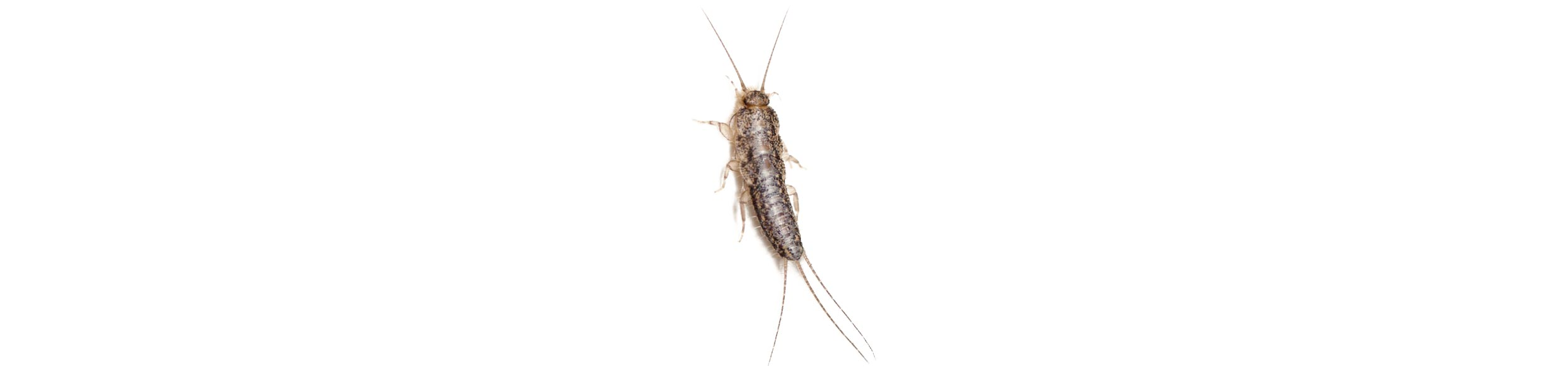 ACE Exterminating-Pest-Services-Silverfish-Header