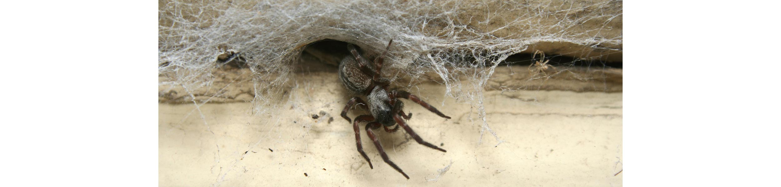 ACE Exterminating-Pest-Services-Spiders-Coming-Out-Of-Hole-Header